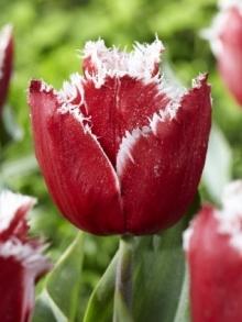 Тюльпан Бахромчатый НЬЮ САНТА