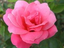 Роза канадская парковая Де Монтервиль