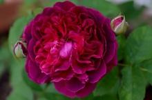 Роза английская парковая Вильям Шекспир