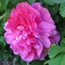 Роза канадская парковая Дэвид Томпсон