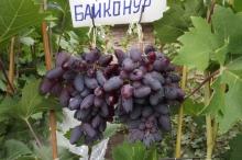 Виноград плодовый Байконур