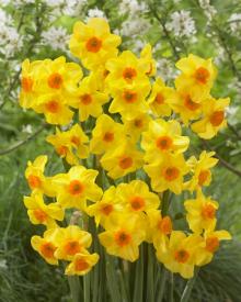 Нарцисс  многоцветковый Мартинетт