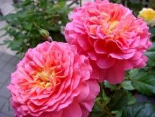 Роза английская парковая Кристофер Марлоу