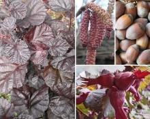 Фундук (Лещина крупная) Пурпуреа