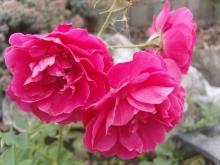 Роза канадская парковая Модэн Аморет
