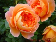 Роза английская парковая Пэт Остин