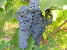 Виноград плодовый Благодать