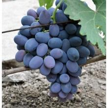 Виноград плодовый Фуршетный