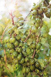 Крыжовник Уральский виноград