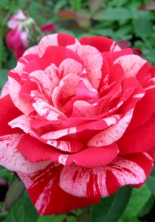 Роза парковая Фердинанд Пичад