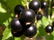 Смородина черная перспективные сорта Деликатес