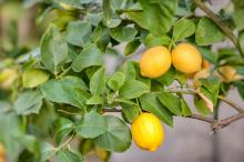 Цитрус Лимон Мейра