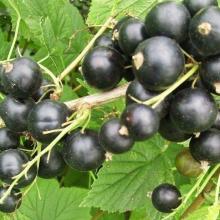 Смородина черная перспективные сорта Черный Аист