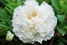 Пион древовидный Белый крисиал