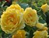Роза плетистая Клайминг Голдиз