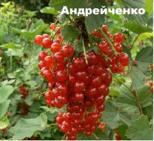 Смородина красная Красная Андрейченко