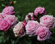 Роза парковая Дитэр Мюллер