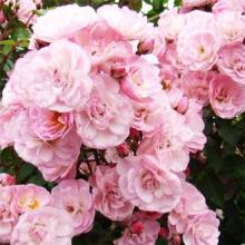 Роза парковая Хэвенли Пинк