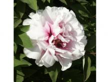 Пион древовидный Персиковый цвет