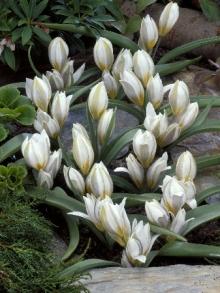 Тюльпан Многоцветный