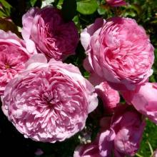 Роза парковая Шанталь Мерье